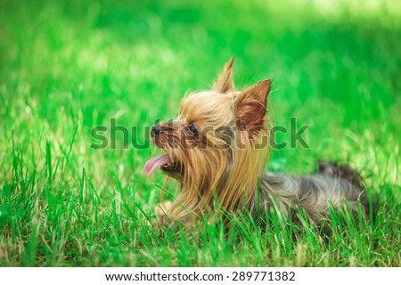 side view of a cute yorkshire terrier puppy dog panting in the grass - stock photo