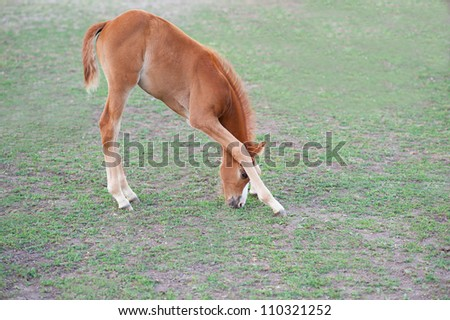 Side view of a filly (horse) eating grass reaching between its legs