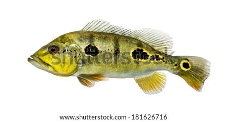Side view of a fresh water aquarium fish, isolated on white
