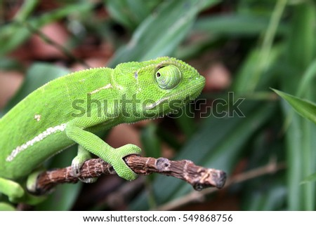 Side view of a Green South African Chameleon blending in with its natural habitat.