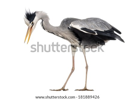 Side view of a Grey Heron upset, flapping its wings, Ardea cinerea, isolated on white