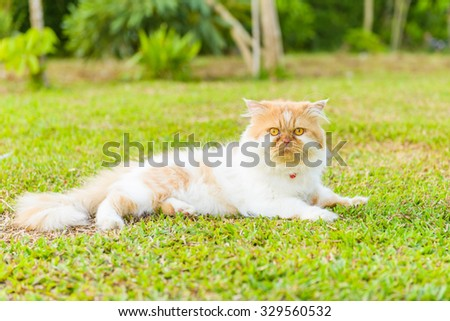 Side view of a grumpy Persian cat facing, looking at the camera