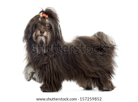 Side view of a Havanese looking at the camera, paw up, isolated on white