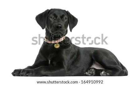 Side view of a Labrador retriever puppy, 5 months old, isolated on white - stock photo