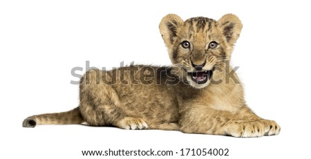 Side view of a Lion cub lying, roaring, 10 weeks old, isolated on white - stock photo