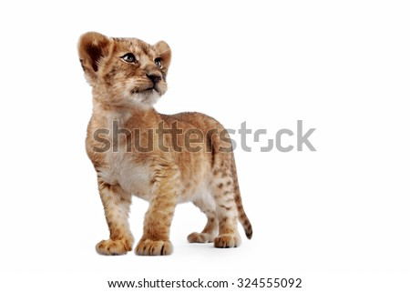 Side view of a Lion cub standing, looking down, 10 weeks old, isolated on white - stock photo