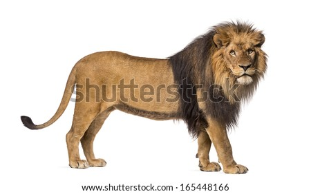 Side view of a Lion standing, looking at the camera, Panthera Leo, 10 years old, isolated on white - stock photo