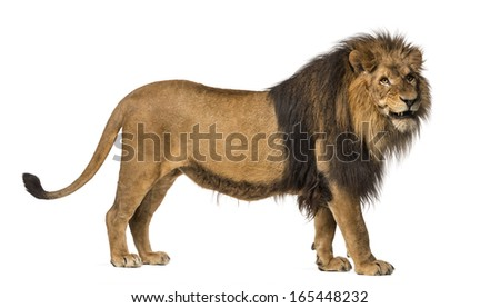 Side view of a Lion standing, roaring, Panthera Leo, 10 years old, isolated on white - stock photo