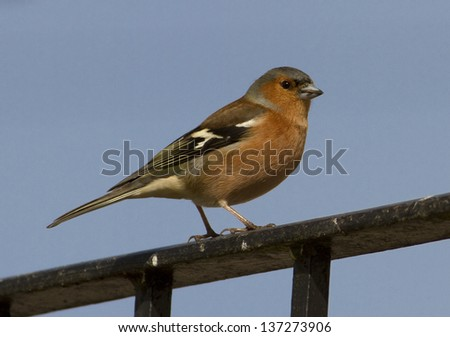 Side view of a male chaffinch stood on a railing against a clear blue sky. The latin name is Fringilla coelebs. - stock photo