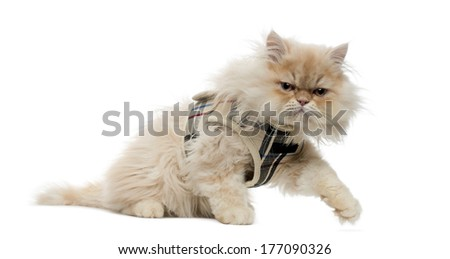 Side view of a Persian kitten with tartan harness, walking away, 4 months old, isolated on white - stock photo