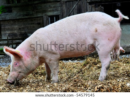 Side view of a pig on a farm - stock photo