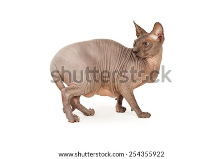 Side view of a scared hairless Sphynx breed cat walking forward and looking back with a scared expression - stock photo