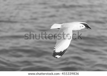 Side View of A Seagull Flying from Left to Right wingspan with Sea Water Background in The Evening Black and White Tone - stock photo