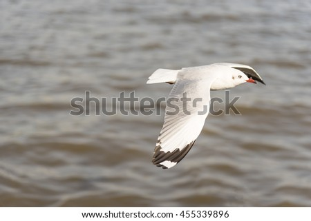 Side View of A Seagull Flying from Left to Right wingspan with Sea Water Background in The Evening Light Tone - stock photo