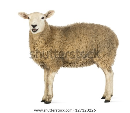 Side view of a Sheep looking at camera against white background - stock photo