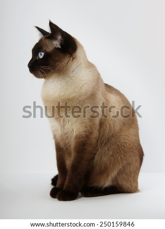 side view of a siamese cat in seal point with blue eyes                               - stock photo