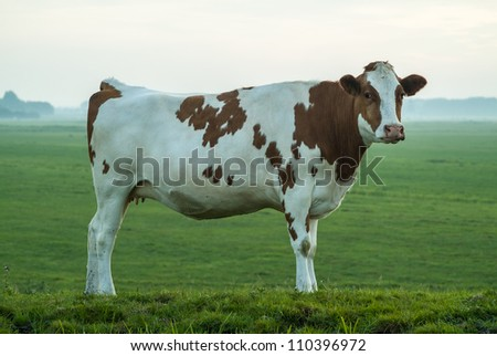 Side view of a typical red and white Dutch milk cow - stock photo
