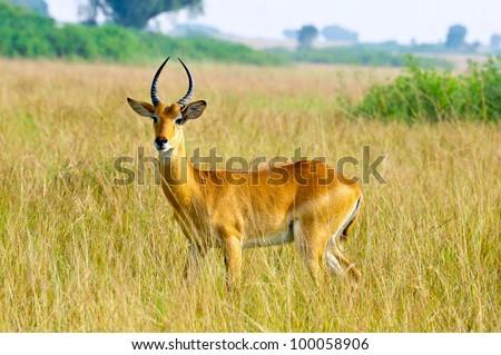Side view of a Ugandan Kob in Queen Elizabeth National Park, Uganda - stock photo