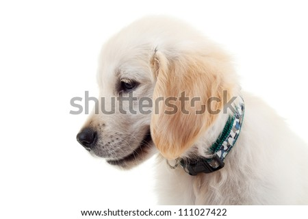 Side view of an adorable and curious Golden Retriever puppy dog looking down. over white background - stock photo