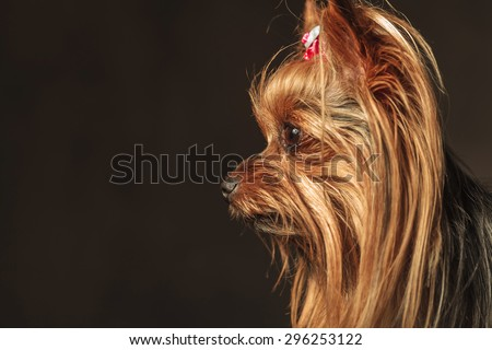 side view of an adorable curious  yorkshire terrier puppy dog looking to something, closeup picture on grey studio background - stock photo
