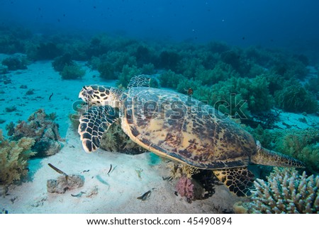 Side view of an adult male Hawksbill turtle (eretmochelys imbricata), swimming over coral reef,endangered. Red Sea, Egypt. - stock photo