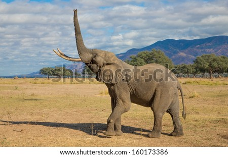 Side view of an African Elephant bull (Loxodonta africana) lifting his trunk straight up - stock photo