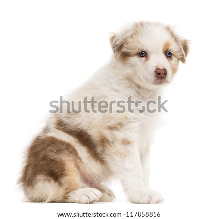 Side view of an Australian Shepherd puppy sitting and portrait against white background