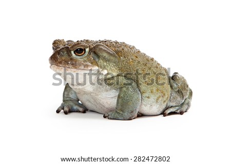 Side view of an Incilius alvarius, also known as Colorado River Toad or Sonoran Desert Toad which has a venom that produces a a psychoactive hallucinogenic effect. - stock photo