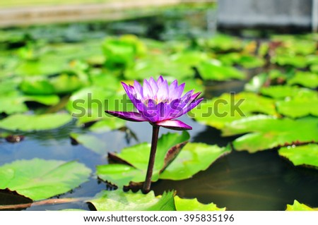 Side view of blooming waterlily