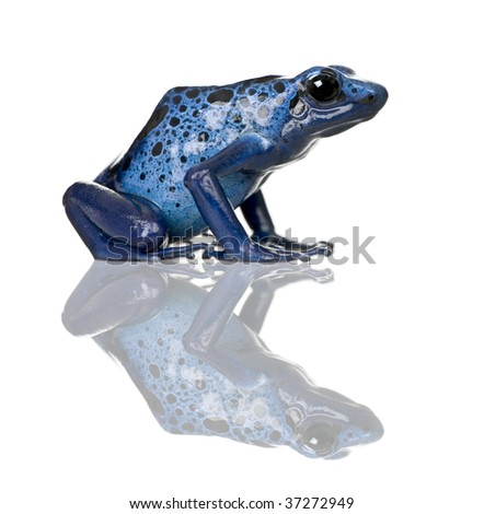 dyeing poison frog and its habitat Poison dart frog size poison dart frogs can be divided up into two or three different size groups the species that are most popular in the hobby are medium to larger size poison dart.