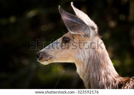 Side view of female deer's head - stock photo