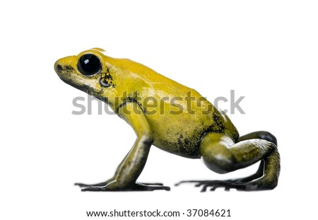 Side view of Golden Poison Frog, Phyllobates terribilis, against white background, studio shot - stock photo