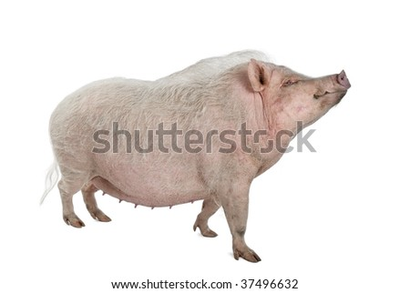 Side view of Gottingen minipig standing against white background, studio shot - stock photo
