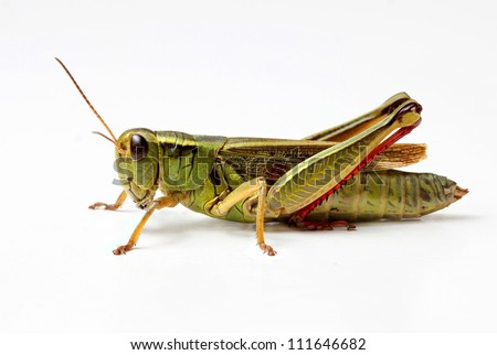 side view of grasshopper isolated on white background - stock photo