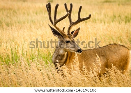 Side view of large mule deer buck standing in tall grass with antlers in full summer velvet - stock photo
