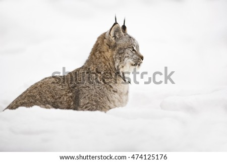 Side view of Lynx. He is looking carefully. It is a side view. His entirely body can seen. Getting ready for attack. He is searching for hunt. Lynx is getting ready for preying