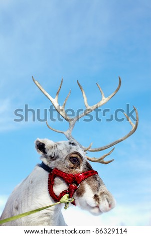 Side view of reindeer?s head in harness - stock photo