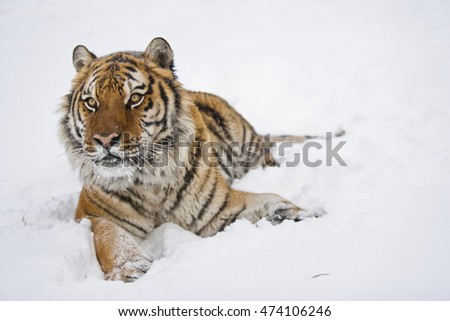 Side view of roaring Amur tiger. Snowflakes are scattering around him. Amur tiger is lying down on snow.