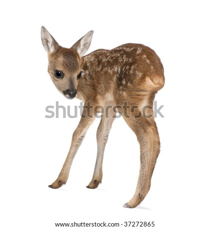 Side view of Roe Deer Fawn, Capreolus capreolus, 15 days old, standing against white background, studio shot