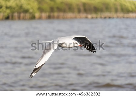 Side View of Seagull Flying from Left to Right with Sea Water and Green Tree Background in the Afternoon Yellow Tone - stock photo
