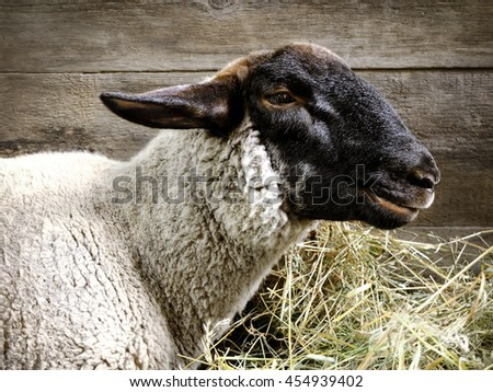 Side view of sheep, isolated on wooden wall of sheepcote - stock photo