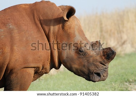 Side view of the head of a de-horned adult rhino busy grazing grass - stock photo