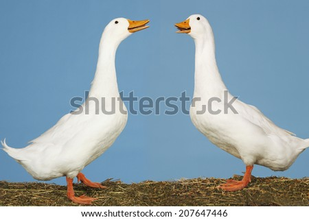 Side view of two geese facing each other standing against blue sky - stock photo