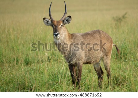 Side view of Waterbuck bull in Uganda, Kidepo valley park