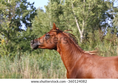 Side view portrait of a galloping young arabian  stallion on pasture - stock photo
