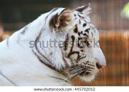 Side view portrait of a white tiger - stock photo