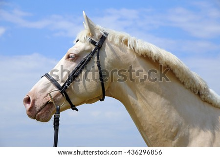 Side view portrait of a young cremello stallion - stock photo
