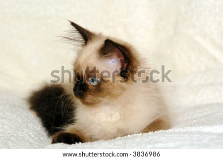 side view portrait of a young seal point himalayan kitten with round blue eyes - stock photo