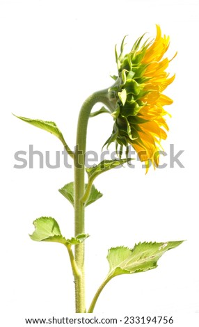 Side view sunflower on white background - stock photo
