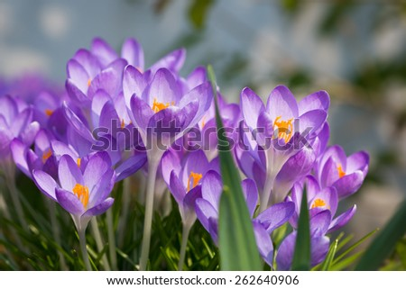 side view to a bunch of spring crocus flowers with yellow blossoms - stock photo